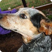 Adopt A Pet :: Amber - Clarksville, TN