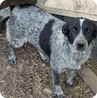 Blue Heeler Mix Dog for adoption in Moulton, Alabama - Daniel