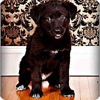 Adopt A Pet :: Big Tony - Owensboro, KY