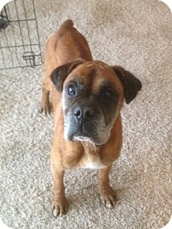 Boxer Dog for adoption in Hurst, Texas - Buster Brown
