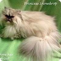 Adopt A Pet :: Princess Snowdrop - Bentonville, AR