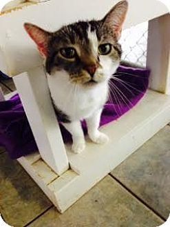 Domestic Shorthair Cat for adoption in East Smithfield, Pennsylvania - Bumbalina