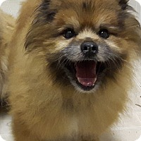 Pomeranian/Terrier (Unknown Type, Small) Mix Dog for adoption in Cambridge, Ontario - Remy
