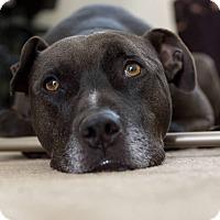 Adopt A Pet :: Kuma - St Helena, CA