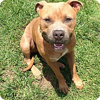 American Pit Bull Terrier Mix Dog for adoption in Orlando, Florida - Tanner