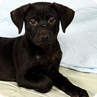 Adopt A Pet :: Ralphie Lab Mix - St. Louis, MO