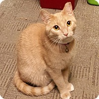Adopt A Pet :: Amber - Jeannette, PA