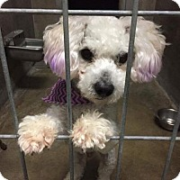 Maltese/Poodle (Miniature) Mix Dog for adoption in sylmar, California - Rufus