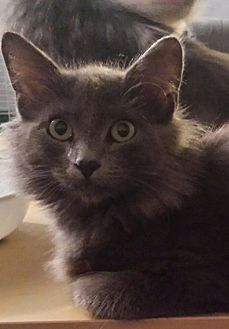 Domestic Longhair Kitten for adoption in Kalamazoo, Michigan - Mini - Chelsea