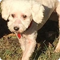 Adopt A Pet :: Snowflake - McKinney, TX