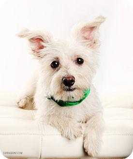 Maltese/Yorkie, Yorkshire Terrier Mix Dog for adoption in Omaha, Nebraska - Seamus-Pending Adoption