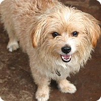 Norfolk Terrier Mix Dog for adoption in Bedminster, New Jersey - Fenwood