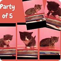 Domestic Mediumhair Kitten for adoption in Winnipeg, Manitoba - Party of Five