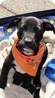Labrador Retriever Mix Puppy for adoption in Memphis, Tennessee - Bo