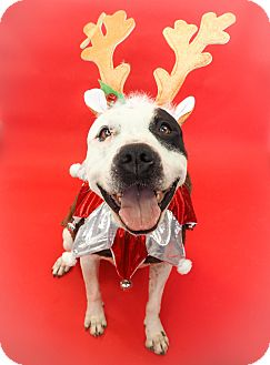 American Pit Bull Terrier/Labrador Retriever Mix Dog for adoption in Phoenix, Arizona - Jarvis