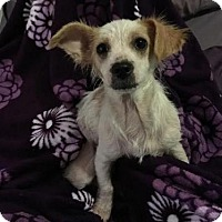 Adopt A Pet :: Holly - Oakley, CA