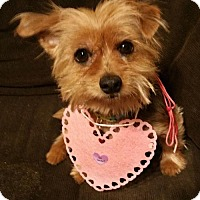 Adopt A Pet :: Violett - Sinking Spring, PA
