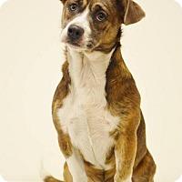 Adopt A Pet :: Muggle - Pardeeville, WI