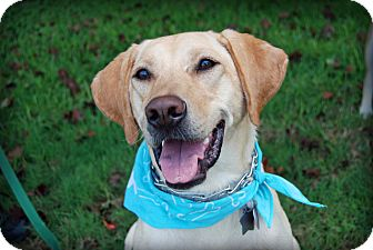Labrador Retriever Dog for adoption in Coppell, Texas - Mickey