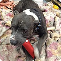 Adopt A Pet :: Jelly - Sinking Spring, PA
