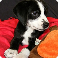 Adopt A Pet :: Gin - North Olmsted, OH