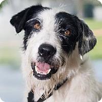 Adopt A Pet :: Scotty - Loxahatchee, FL