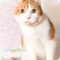 Adopt A Pet :: Rocky - Sterling Heights, MI