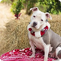 American Pit Bull Terrier Dog for adoption in Hialeah, Florida - Nanny