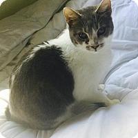 Adopt A Pet :: Nichole MANX - tampa, FL