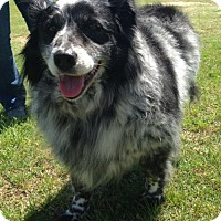 Border Collie/Australian Shepherd Mix Dog for adoption in Fort Worth, Texas - Carlie