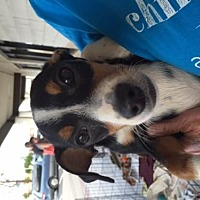 Basset Hound Mix Dog for adoption in Fresno, California - Timmy