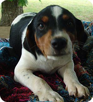 Beagle/Blue Heeler Mix Puppy for adoption in Staunton, Virginia - Jager