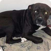 Adopt A Pet :: DUKE-Emotional Support Animal - DeLand, FL