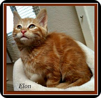 Domestic Shorthair Kitten for adoption in Tombstone, Arizona - Elon