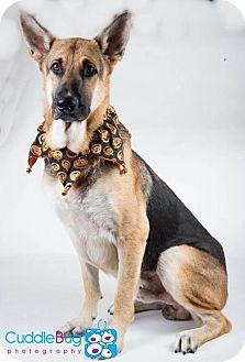 German Shepherd Dog Dog for adoption in Irving, Texas - Zepp