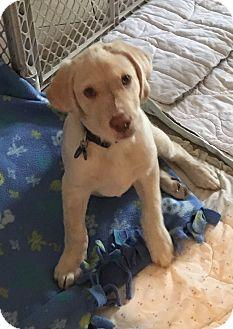 Golden Retriever/Labrador Retriever Mix Puppy for adoption in Carlsbad, California - Barley