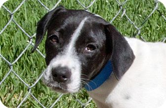 Terrier (Unknown Type, Small) Mix Puppy for adoption in Rockport, Texas - Kate