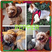 Adopt A Pet :: Pepper - Plainfield, IL