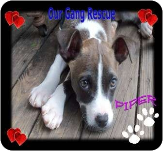 American Pit Bull Terrier Mix Puppy for adoption in Cincinnati, Ohio - Piper