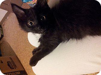 Domestic Shorthair Kitten for adoption in St. Louis, Missouri - Rupert