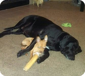 Beagle/Labrador Retriever Mix Dog for adoption in Seattle, Washington - Emmett