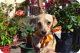 Chihuahua/Terrier (Unknown Type, Small) Mix Puppy for adoption in San Diego, California - Chapis