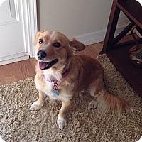 Adopt A Pet :: Maci - Murrells Inlet, SC