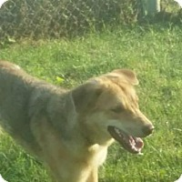 Shepherd (Unknown Type)/Golden Retriever Mix Dog for adoption in Laval, Quebec - June