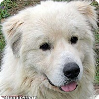 Great Pyrenees Dog for adoption in Beacon, New York - Teddy in CT