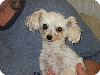 Maltese/Poodle (Toy or Tea Cup) Mix Dog for adoption in Dodge City, Kansas - Gizmo L
