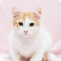 Adopt A Pet :: Bolt - Fountain Hills, AZ
