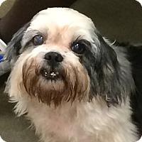 Adopt A Pet :: Little Dew - Orlando, FL