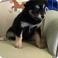 Adopt A Pet :: Trixie - Encino, CA