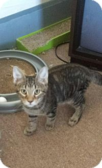Domestic Shorthair Cat for adoption in Akron, Ohio - Wine Litter